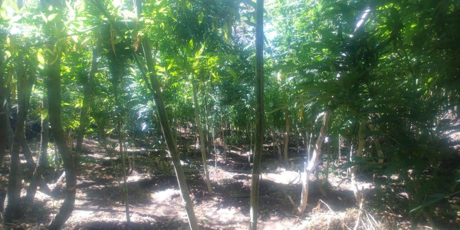 Localizan PEP y Sedena plantío de mariguana en Ensenada