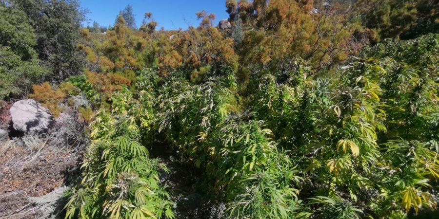 Destruyen PEP y GN diez plantíos de mariguana